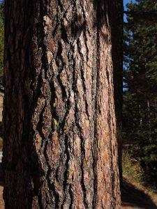 Sugar pine bark
