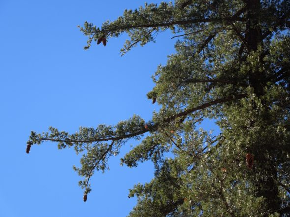 Sugar Pine branches