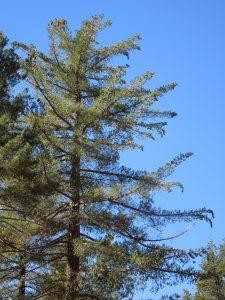 Sugar pine (pinus lambertiana)