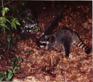 Yosemite 1994 - raccoons