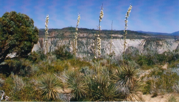 Yucca growing at Observation Point. View toward canyon's west rim.