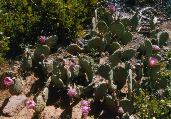 Prickly pear cactus in bloom on the east rim