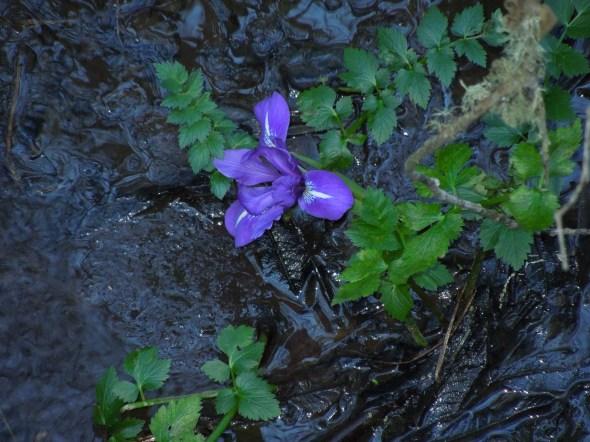 Pt Reyes - Alamere Falls iris