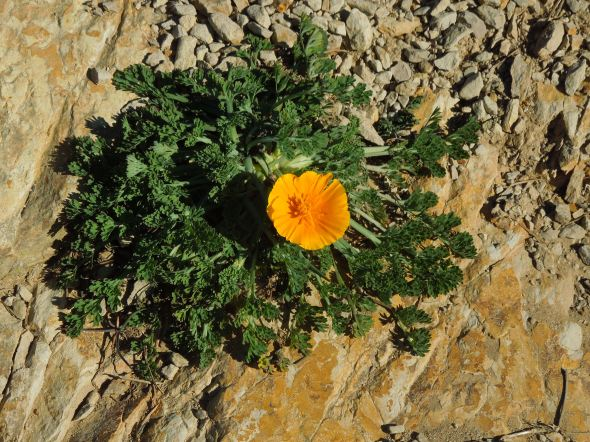 Pt Reyes - Alamere Falls poppy in the trail