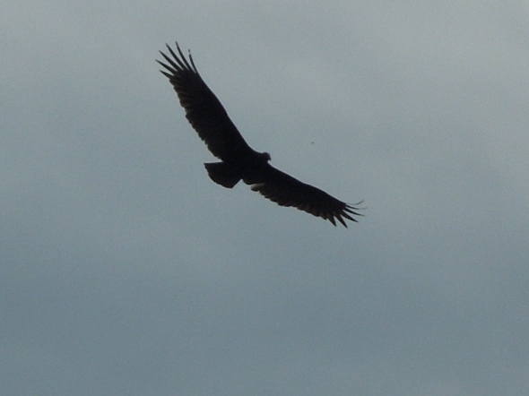 PInnacles - California condor