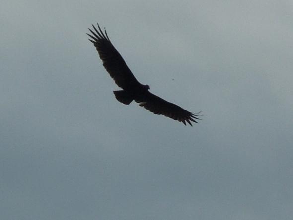 PInnacles - California condor