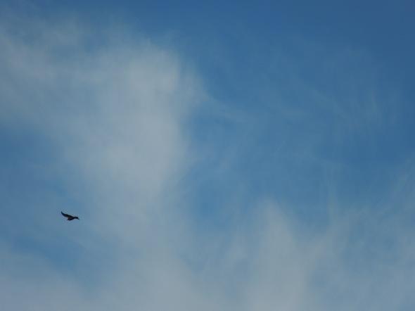 Pinnacles - soaring condor