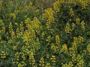 Yellow lupine